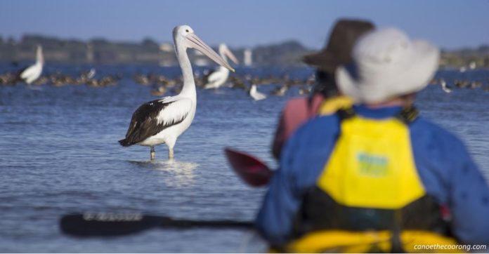 Bird watching Canoe the Coorong
